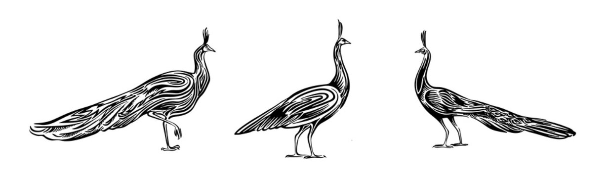 Hand drawn peacock set outline sketch. Vector peafowl bird black ink drawing isolated on white background. Graphic animal illustration