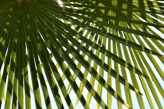 Palmetto leaves crossed with the sun behind (Chamaerops humilis)