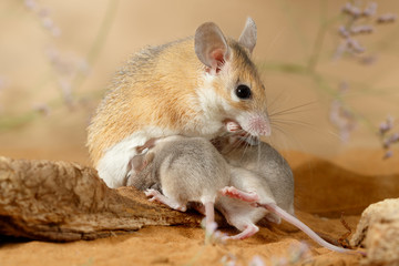 Close-up female spiny mouse eats insect and breastfeed the offspring.  Small DoF focus put only to head of mouse.