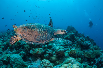 A Hawksbill sea turtle, Eretmochelys imbricata, swims in the blue waters above a reef in Palau. This tropical island-nation is home to extraordinary marine biodiversity.