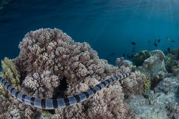 A Banded sea krait, Laticauda colubrina, swims over corals in Indonesia.