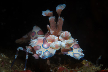 A Harlequin shrimp, Hymenocera picta, is found in Lembeh Strait, Indonesia.
