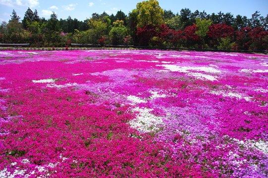 芝桜と青空 シバザクラの丘