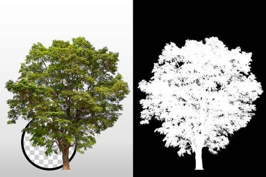Trees on transparent background with clipping path and alpha channel on black background. Can use in architectural design, Decoration work, Used with natural articles both on print and website.