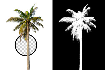 Wall Murals Palm tree Isolated coconut palm tree on white background with high quality mask alpha channel and clipping path. Suitable for natural articles both on fine print and web page.
