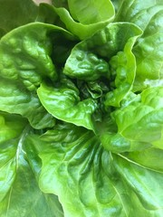 Homegrown Organic Bibb Lettuce