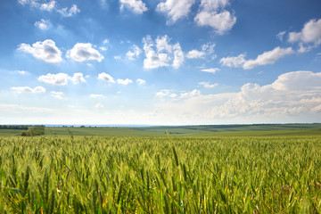 spring landscape - agricultural field with young ears of wheat, green plants and beautiful sky Wall mural