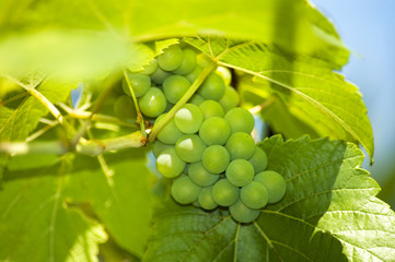 picture of fresh grapes