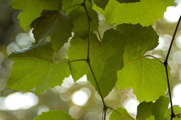 picture of green grape leaves