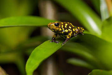 Harlequin poison dart frog in a bromeliad