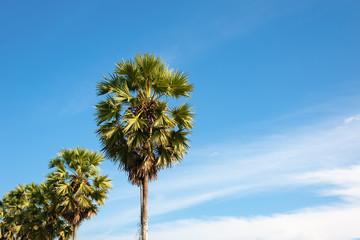 Sugar palm tree  morning light with blue sky.