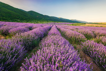 Stunning view with lavender field before sunset
