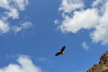 Águila americana en el cielo