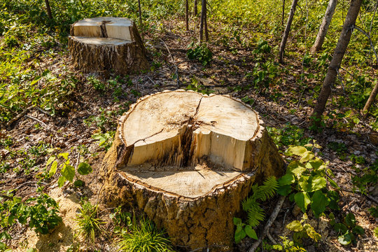 birch stump in the forest, the remainder of the felled tree, deforestation