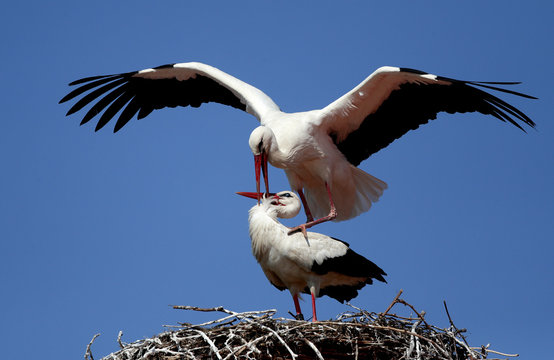 White storks are seen inside their nest on a chimney above the rooftops in Rust