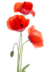 Poster Poppy bouquet of red poppies isolated on white background.