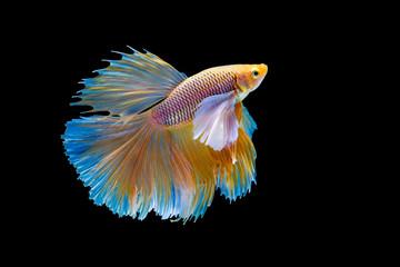 Foto op Plexiglas Vissen The moving moment beautiful of yellow siamese betta fish or half moon betta splendens fighting fish in thailand on black background. Thailand called Pla-kad or big ear.