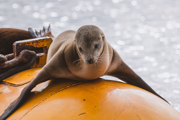 California Sea Lion on yellow buoy