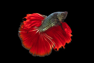 Foto op Plexiglas Vissen The moving moment beautiful of red green siamese betta fish or fancy betta splendens fighting fish in thailand on black background. Thailand called Pla-kad or biting fish.