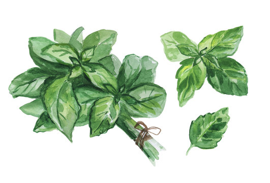 Watercolor set of fresh Basil leaves isolated on white background.