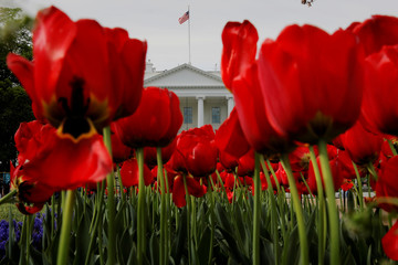 Tulips bloom in front of the White House in Washington