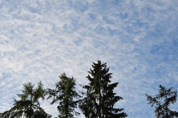 blue sky with light cloud cover over coniferous trees