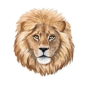 Lion watercolor illustration. Realistic portrait.  Lion head isolated on white background. Template. Close-up. Clip art. Hand drawn. Painting