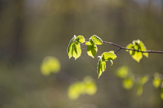 branches with young bright green leaves Common hazel  (Corylus avellana) in backlight with blurred background and bokeh