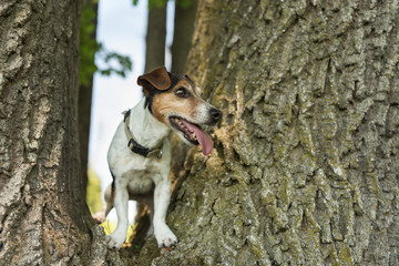 Little Jack Russell Terrier dog is climbing up a huge tree