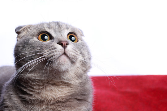 Kitty looks up, thoughtful and surprised. Very fashionable breed Scottish Fold. Copy space
