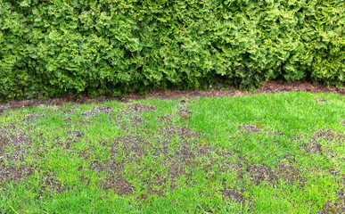 Wall Mural - Large repair patch on natural grass lawn
