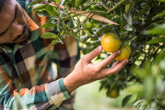 orange tree field male farmer harvest picking orange fruits