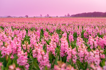 Endless field of pink flowers