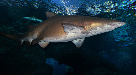 Shark swimming marine life in the ocean / Sand tiger shark picture sea underwater
