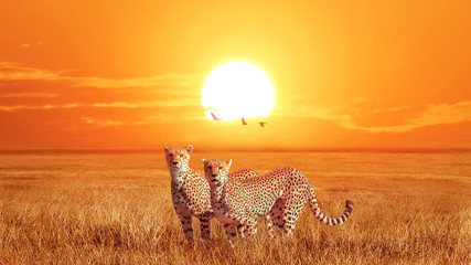 Wall Mural - Group of cheetahs at beautiful orange sunset in the Serengeti National Park. Tanzania. Wild nature of Africa. Artistic african image.