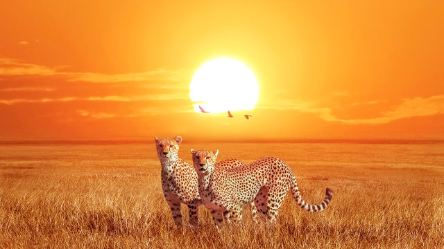 Group of cheetahs at beautiful orange sunset in the Serengeti National Park. Tanzania. Wild nature of Africa. Artistic african image.