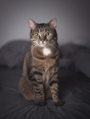 tabby domestic shorthair cat sitting on the bed looking at camera
