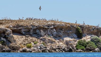 Superb colony of pelicans on the Penguin Island, facing the coast of Rockingham, Western Australia