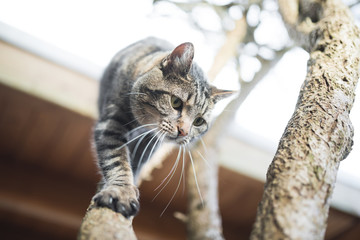 tabby domestic shorthair cat climbing down tree from roof
