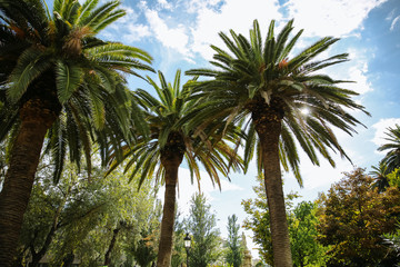 The palm tree in sun lights. Southern plants outdoors. Nature photo. Green lawn in the park.