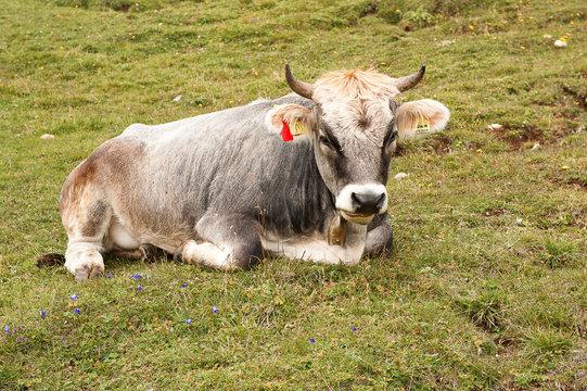 Rind auf einer Alm in den schweitzer Bergen - Zu den Merkmalen von Almen gehören neben den Wiesen auch die milchliefernden Rinder und das Leuten der Kuhglocken