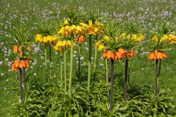 Kaiserkrone- - Fritillaria imperialis - Pflanzen