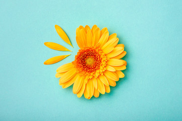 Petal taken gerbera daisy on blue background