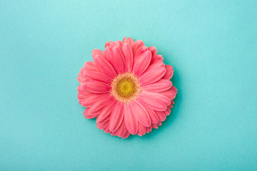 Acrylic Prints Gerbera Gerbera daisy on blue background