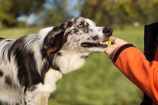 OBEDIENCE DOG CONCEPT. BORDER COLLIE PUPPY BROUGHT THE TENNIS BALL HOSTESS AND LAYS DOWN OWNER HAND.