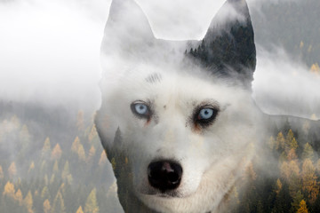 d3ac955f9 Double exposure image of a Siberian husky dog and a snowy pine forest.  Transferred. Pending · wolf head logo sport