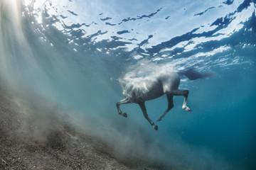 White grey horse swimming underwater view