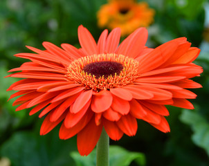 Gerbera s a genus of plants in the Asteraceae (daisy family). It was named in honour of German botanist and medical doctor Traugott Gerber