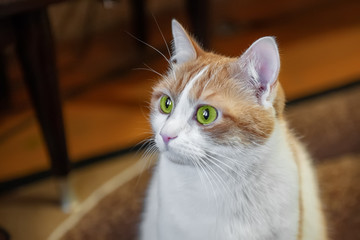 Beautiful fluffy red cat with white breast and green eyes close-up