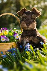 Cute toy schnauzer puppy in a flower meadow